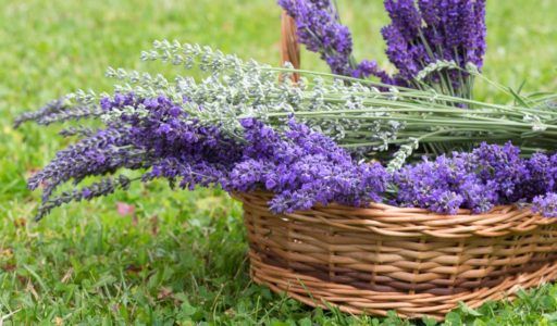 U Pick Lavender 2018