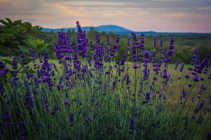 Lavender - The Farm at SummitWynds